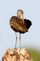Limpkin preening its feathers on a palm stump - St. Petersburg,