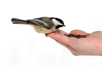 Black-capped Chickadee Eating Seeds From a Hand