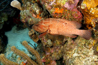 Graysby Swimming on a Coral Reef - Bonaire