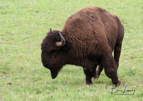 american bison research paper American bison descriptive essay essay boston massacre essay listen school concert essay descriptive essay on the person i admire the most dementia research paper.