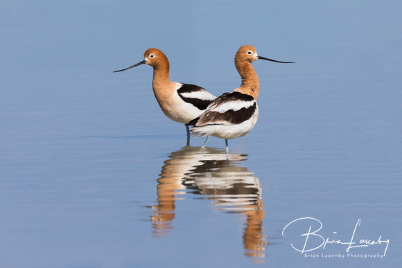 Pair of American Avocets in a shallow lake - Nevada