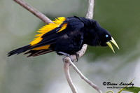 Male Yellow-rumped Cacique