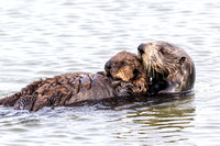 Southern Sea Otter cradling her pup - Monterey Peninsula, Califo