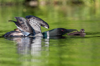 A Common Loon with wings stretched out feeds a fish to its week-