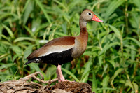 Black-bellied Whistling Duck - Gamboa, Panama