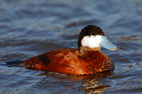 Male Ruddy Duck - Santee Lakes, San Diego, California