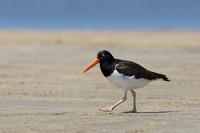American Oystercatcher walking on a sandy beach