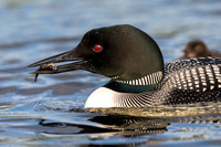 A Common Loon carries a freshly caught fish to its chick in the