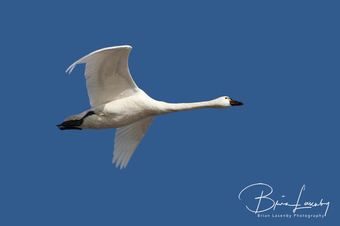Tundra Swan in Flight Against a Deep Blue Sky