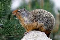 Columbian Ground Squirrel Callling in Banff National Park