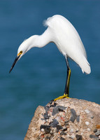 Snowy Egret hunting for fish from a seawall- Florida
