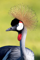 Closeup of Gray Crowned Crane