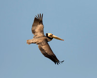 Brown Pelican in flight - Salton Sea, California