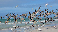 Flock of Black Skimmers Taking Flight - Florida