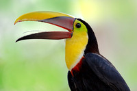 Chestnut-mandibled Toucan - Panama