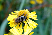 Bumblebee on Sneezeweed Flower