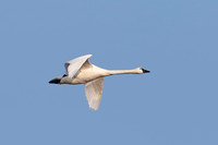 Tundra Swan Migrating in the Spring - Ontario, Canada