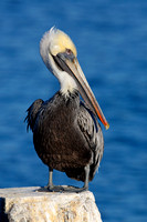 Brown Pelican perched on a dock piling - Florida