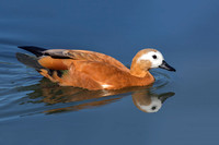 Ruddy Shelduck swimming in a pond