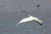 White Morph of Reddish Egret Taking Flight