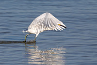 A Snowy Egret (Egretta thula) forms a canopy with its wings to c