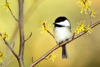 Black-capped Chickadee in a Witch Hazel Shrub