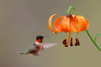 Ruby-throated Hummingbird and Michigan Lily - Ontario, Canada