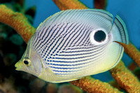 Closeup of Foureye Butterflyfish