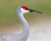Closeup of a Sandhill Crane - Melbourne, Florida