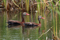 Pair of Black-bellied Whistling Ducks Swimming in a Marsh
