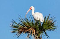 White Ibis perched in a palm tree - Melbourne, Florida