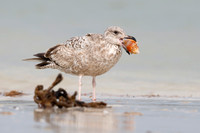 Herring Gull in first winter plumage holding a snail in its beak