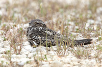 Common Nighthawk Perched on Ground - Texas