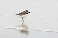 Wilson's Plover Wading in Shallow Water
