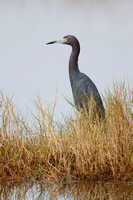 Little Blue Heron stalking its prey in a marsh - Florida