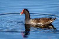 Common Gallinule Swimming in a Florida Pond