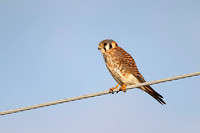 Female American Kestrel perched on a wire - Florida