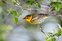 Male Cape May Warbler