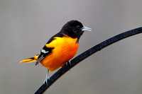 Male Baltimore Oriole Perched on Wrought Iron