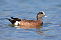 American Wigeon swimming in a lake - San Diego, California