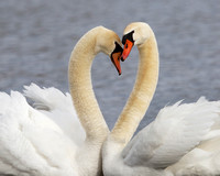 Pair of Mute Swans in Courtship Display - Michigan