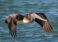 Immature Brown Pelican with a fishing line around its neck - Flo