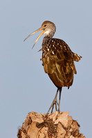 Limpkin calling from a palm stump - Florida